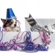 Chihuahua wearing a party hat in a present box with streamers, i — Stock Photo