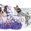 Chihuahua in a present box with streamers, isolated on white — Stock Photo