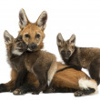 Maned wolf mom and cubs cuddling, looking at the camera, Chrysoc — Stock Photo