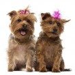 Two Yorkshire Terrier wearing bows, panting, sitting, isolated o — Stock Photo #42781331