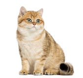 British shorthair sitting, isolated on white — Stock Photo