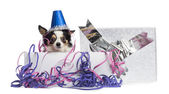 Chihuahua wearing a party hat in a present box with streamers, l — Stock Photo