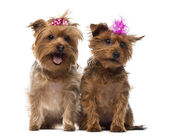 Two Yorkshire Terrier wearing bows, panting, sitting, isolated o — Stock Photo