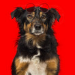 Close-up of a Border collie with red round sunglasses — Stock Photo #43549955
