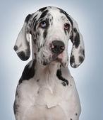 великий датчанин щенок, 6 месяцев, перед синий фон — Стоковое фото