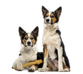 Two Border collies, one is lying with a bone and the other one i — Stock Photo