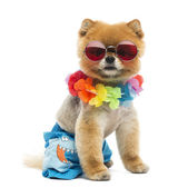 Pomeranian dog sitting, wearing shorts, Hawaiian lei, short, red — Stock Photo