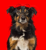 Close-up of a Border collie with red round sunglasses — Stock Photo