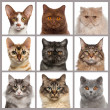 Nine cat heads looking at the camera — Stock Photo #43550023