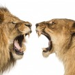 Close-up of a Lion and Lioness roaring at each other — Stock Photo #43551513