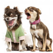 Chihuahua shouting at the ear of a dressed Chihuahua — Stock Photo