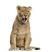 Lion cub sitting and yawning — Stock Photo