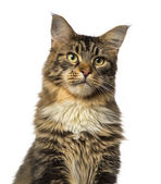 Close-up of a Maine Coon looking away — Stock Photo