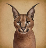 Caracal, 6 months old, in front of brown background — Stock Photo