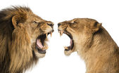 Close-up of a Lion and Lioness roaring at each other — Stock Photo
