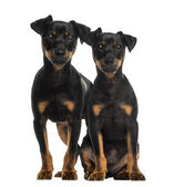 Two Pinscher sitting, standing and looking at the camera — Stock Photo