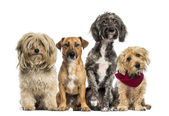 Group of Crossbreed sitting and looking — Stock Photo