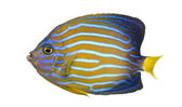 Side view of a Northern Angelfish, Chaetodontoplus septentrional — Foto Stock