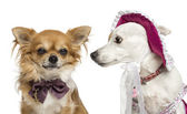 Jack russel wearing a hat looking at a chihuahua wearing a bow t — Stock Photo