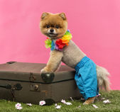 Pomeranian dog, shorts and Hawaiian lei, leaning on suitcase — Stock Photo