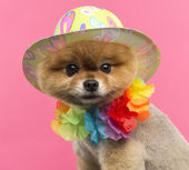 Pomeranian dog wearing a colored hat and a Hawaiian lei  — Stock Photo