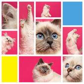 Composition of a Birman kitten — Stock Photo