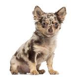 Chihuahua cucciolo seduto e guardando la telecamera — Foto Stock