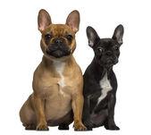 Due bulldog francesi seduto e guardando la telecamera — Foto Stock