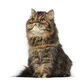 Persian kitten sitting and lookin up (8 months old) — Stock Photo