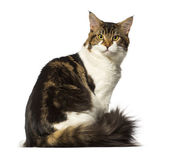 Maine Coon sitting and looking at the camera — Stock Photo