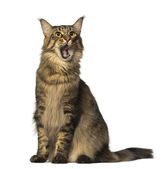 Maine Coon sitting and looking — Stock Photo