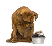 Dogue de Bordeaux sitting and looking at rabbits in a dog bowl — Stock Photo