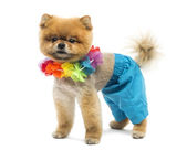 Groomed Pomeranian dog wearing shorts and a Hawaiian lei — Stock Photo