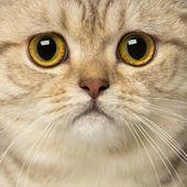 Close-up of a British Shorthair looking at the camera — Stock Photo