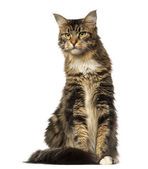 Maine Coon sitting and looking away — Stock Photo