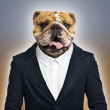 English bulldog wearing a suit, colored background — Stock Photo #44336597