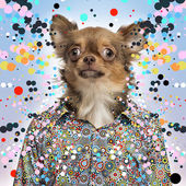 Chihuahua wearing a spotted shirt, spotted background — Stock Photo