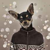Chihuahua wearing a sweater, spotted background — Stock Photo