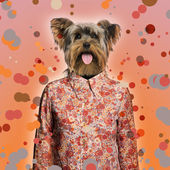 Yorkshire terrier wearing a shirt, spotted background — Stock Photo