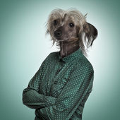 Chinese hairless crested dog wearing a green shirt, green backgr — Stock Photo