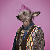 Punk Chinese Crested Dog wearing a shirt, pink background — Stock Photo