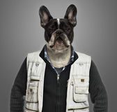 French bulldog wearing work clothes, grey background — Stock Photo