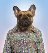 French Bulldog wearing a spotted shirt, blue background — Stock Photo