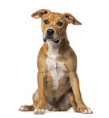 American Staffordshire Terrier sitting, isolated on white — Stock Photo