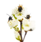 Group of Bees pollinating a flower - Apis mellifera, isolated on — Stock Photo