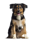 Border Collie sitting and panting (2 years old) — Stock Photo