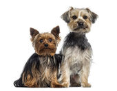 Two Yorkshire Terrier — Stockfoto