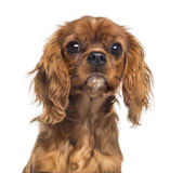 Headshot of a Cavalier King Charles Spaniel puppy (5 months old) — Stock Photo