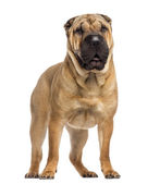 Standing Shar Pei (15 months old) — Stock Photo