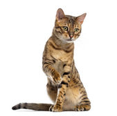 Bengal (11 months old) sitting, pawing and looking down — Stock Photo